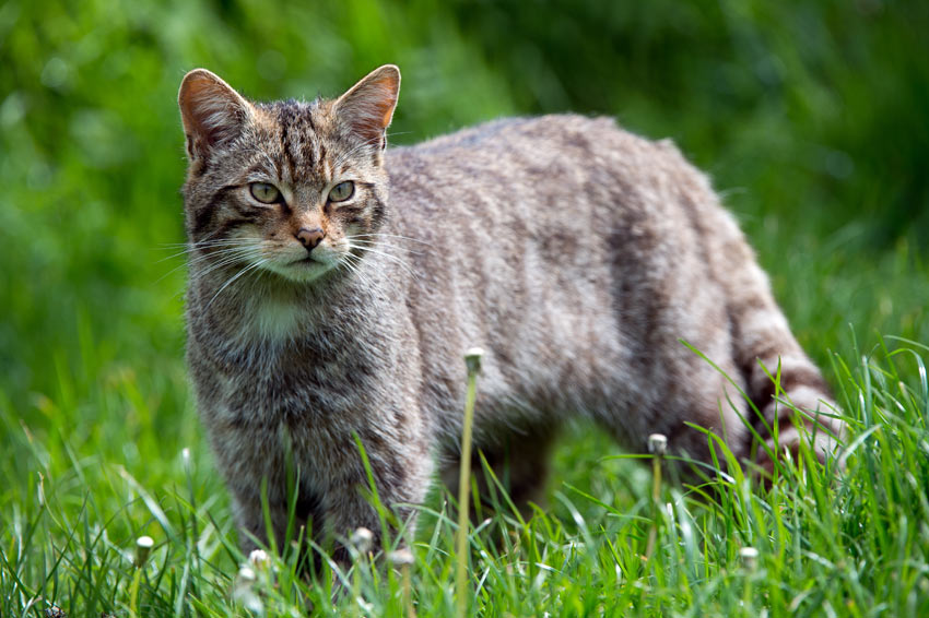 A Scottish Wildcat hunting in the long grass