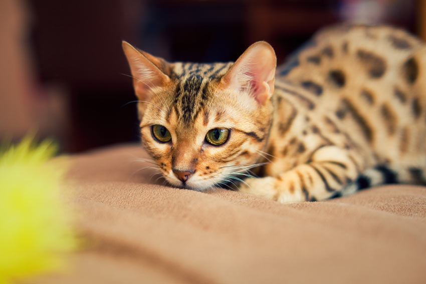 A lovely little Bengal kitten playing in the house