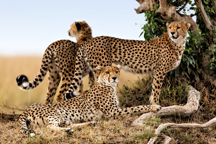 Three Wild African cats A Cheetah family in the Masai Mara Kenya