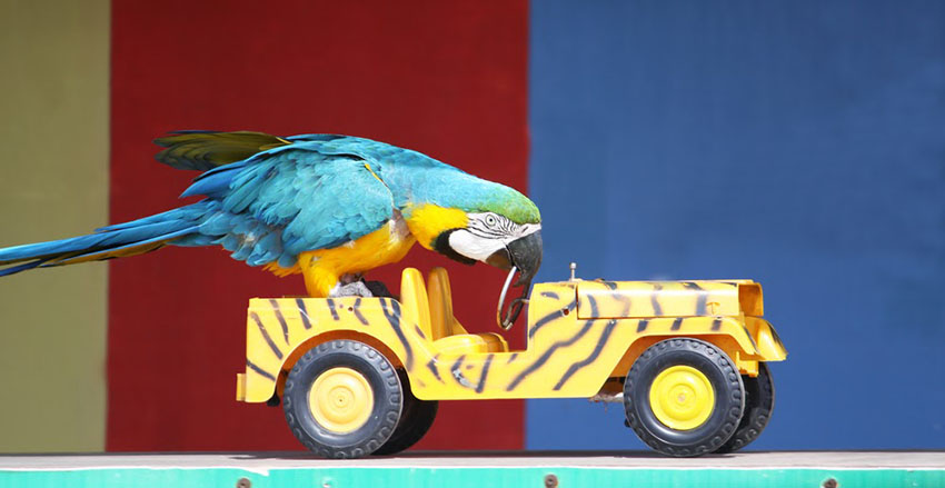 Blue-and-gold macaw playing