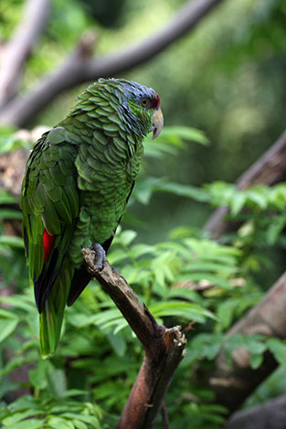 Lilac-crowned Amazon escaped