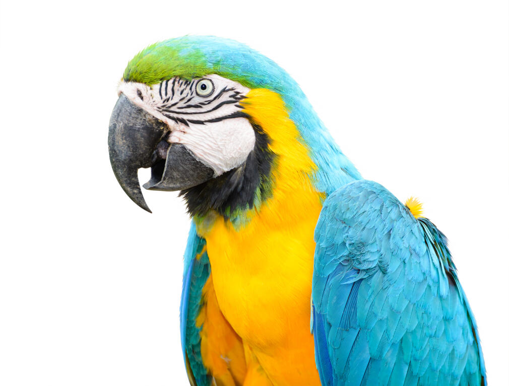 Blue And Yellow Macaw Parrots Rasinformations Omlet