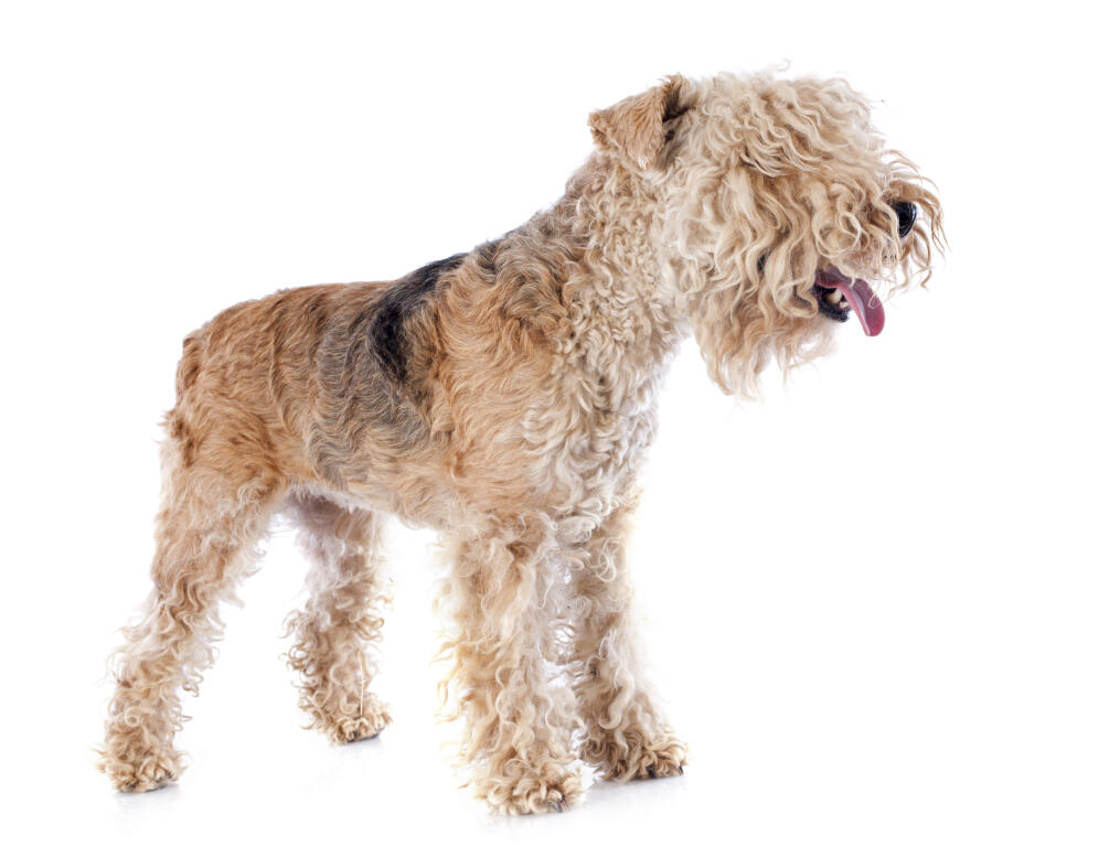 Athletic Short Haired Water Dog Breed