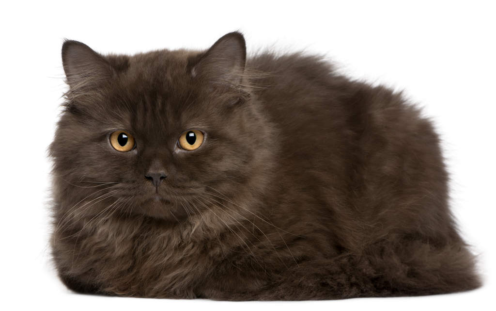 Smokey Cat Breed