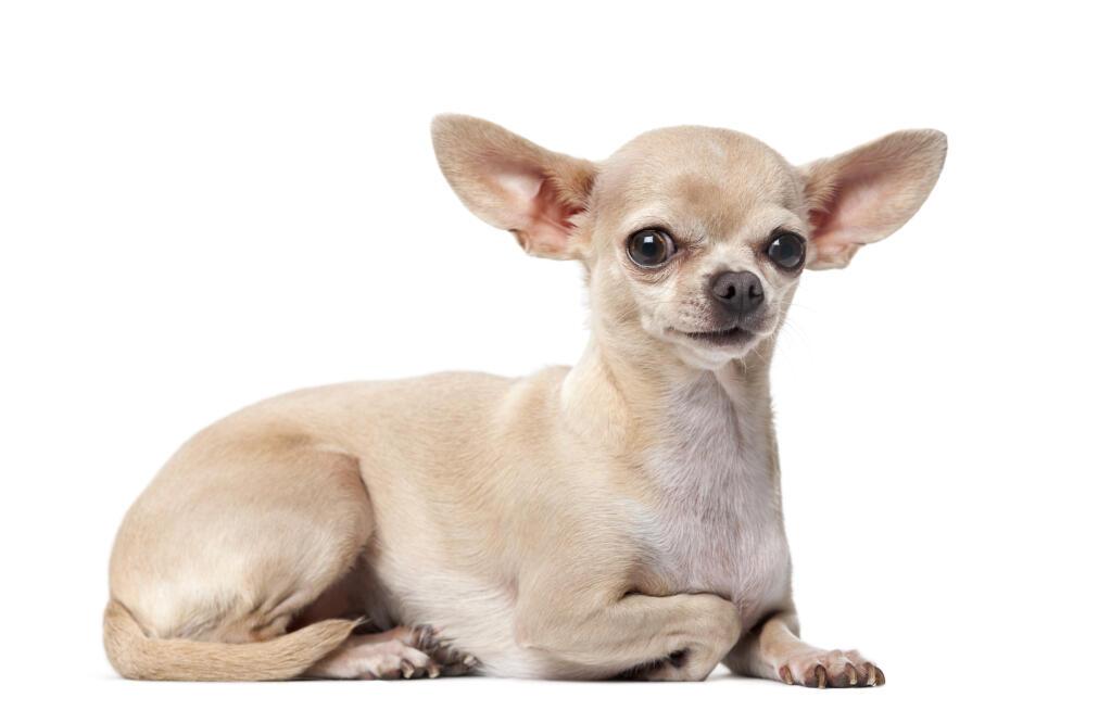 Dog Breeds Originating In South America