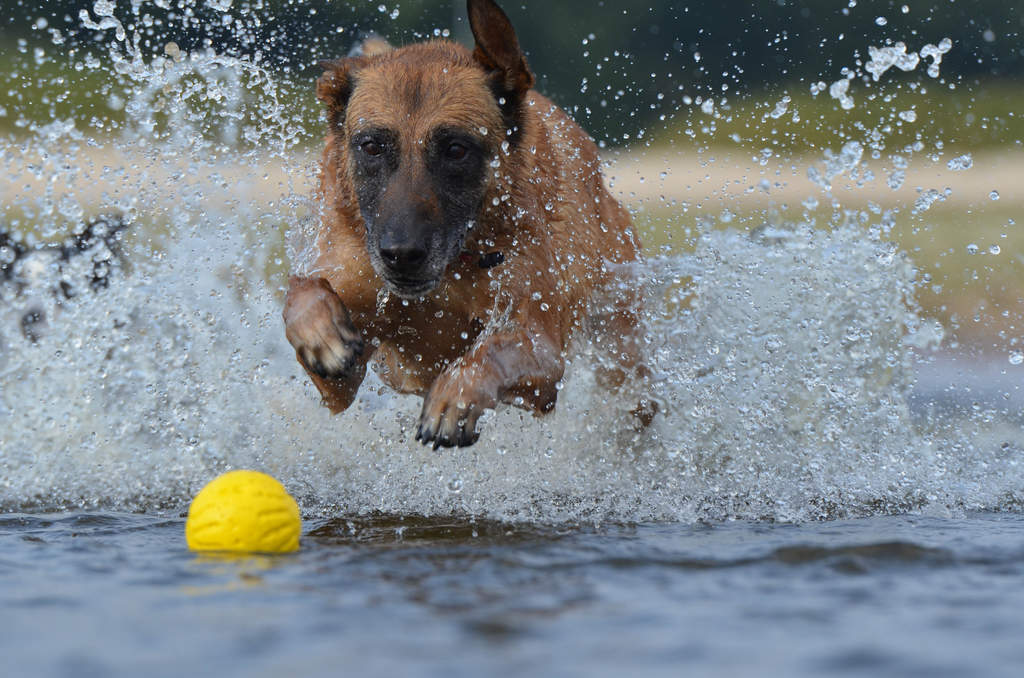 Belgian Shepherd Dog (Malinois) | Dogs | Breed Information | Omlet