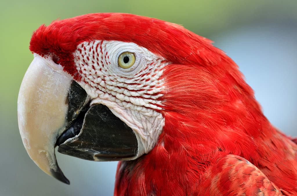 Red and Blue Macaw | P...