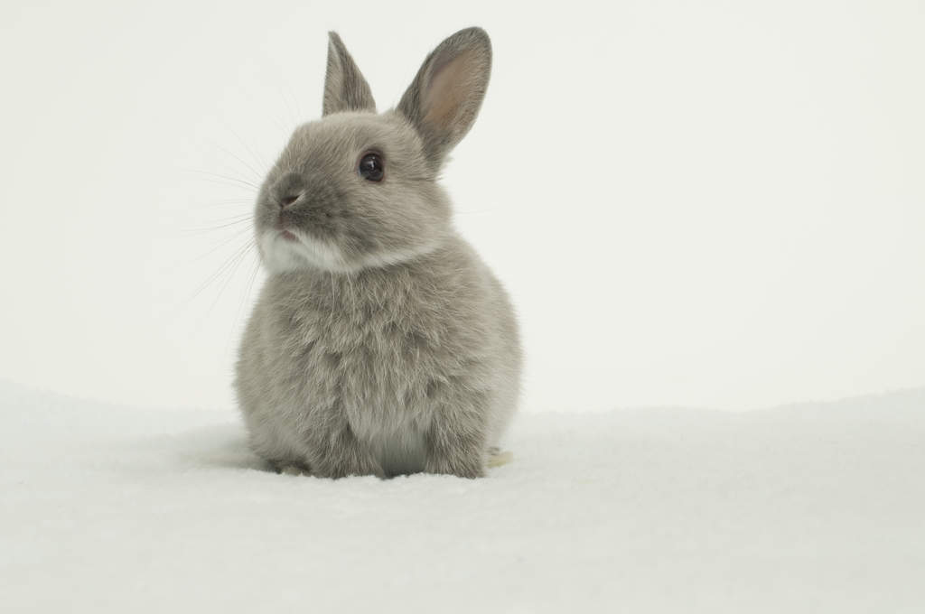 Netherland Dwarf For Sale Rabbits Breed Information