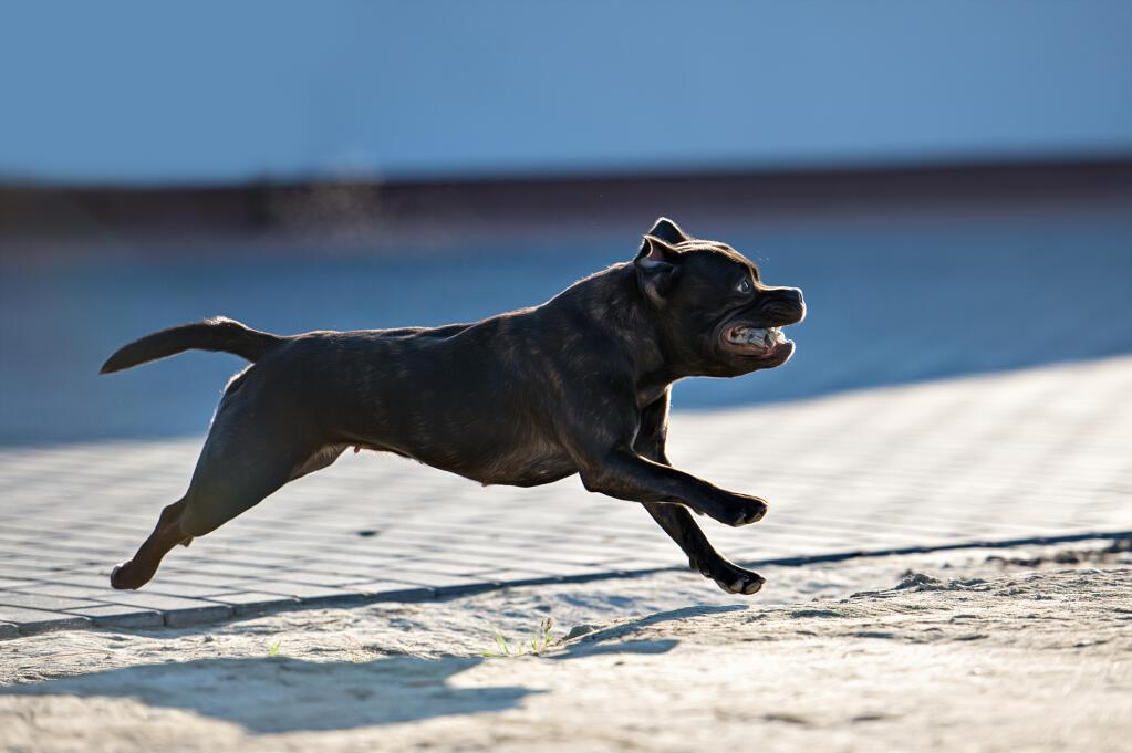 Staffordshire Bull Terrier | Dogs | Breed Information | Omlet