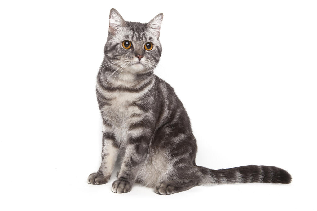 American Shorthair Cat For Sale Uk