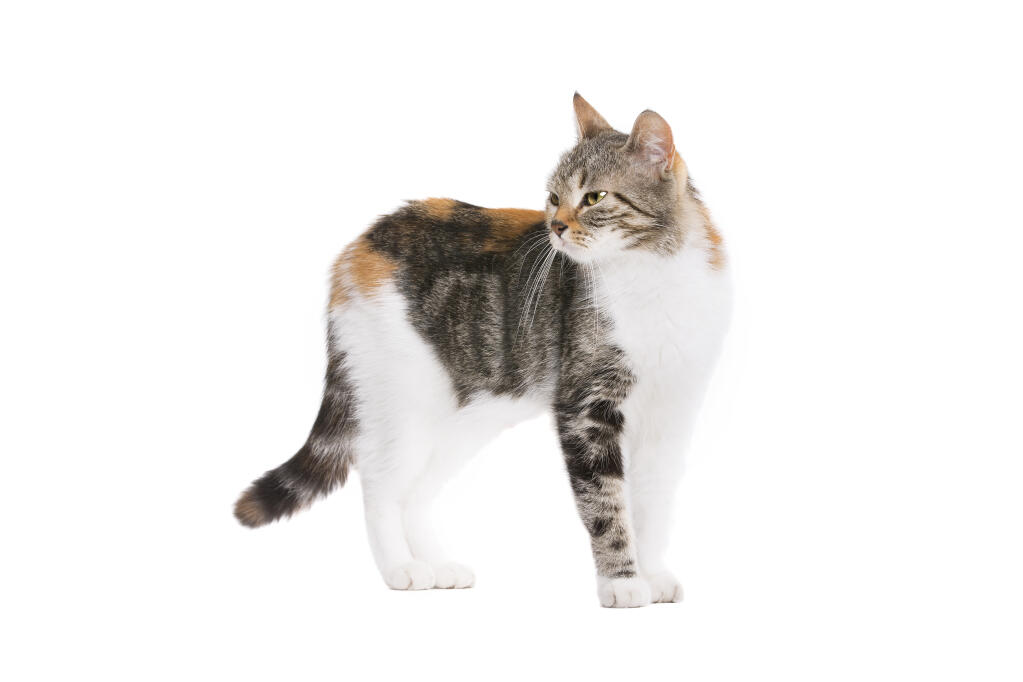 european shorthair cats breed information omlet