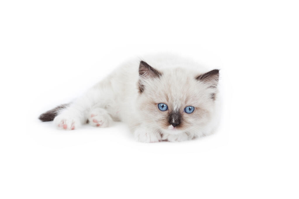 ragdoll cats breed information omlet