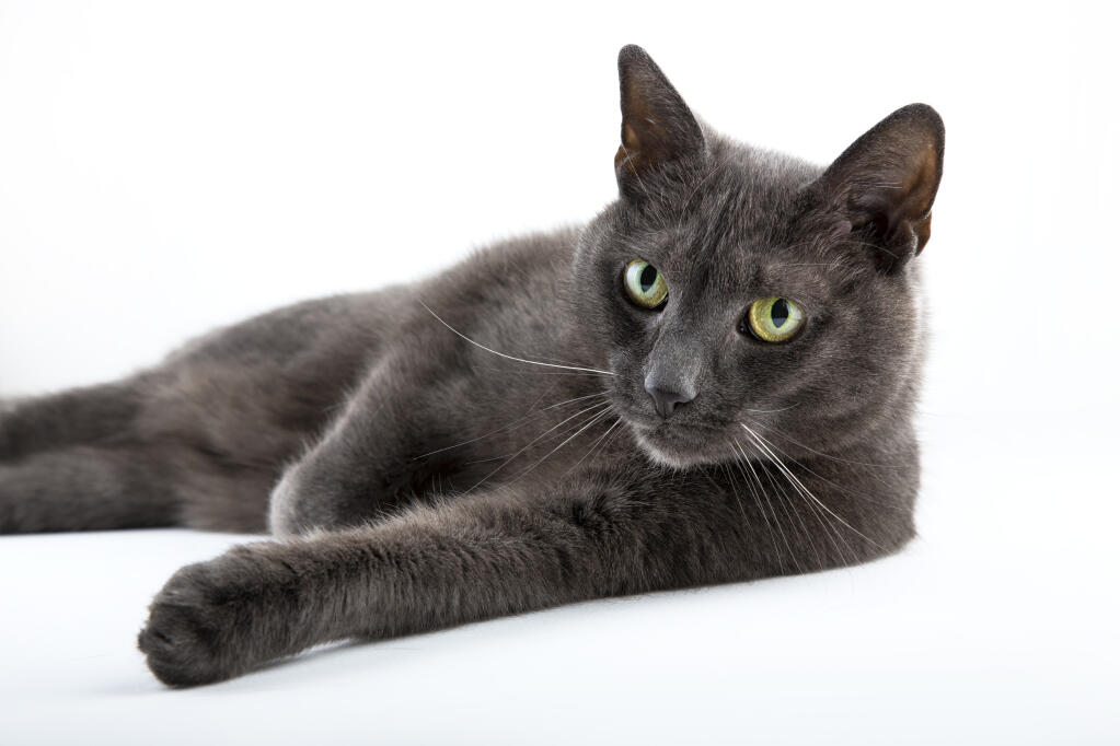 Himalayan And Russian Blue Cat