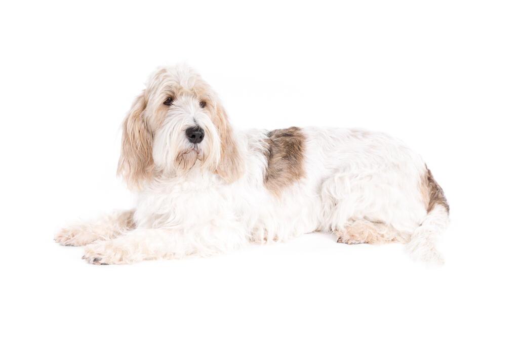 Basset griffon vendeen grand dogs breed information - Petit basset griffon vendeen breeders toulon ...