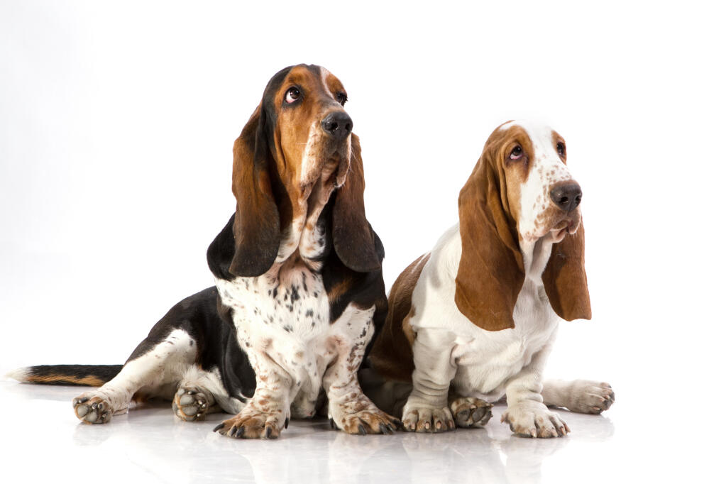 Basset Hound Dogs Breed Information Omlet