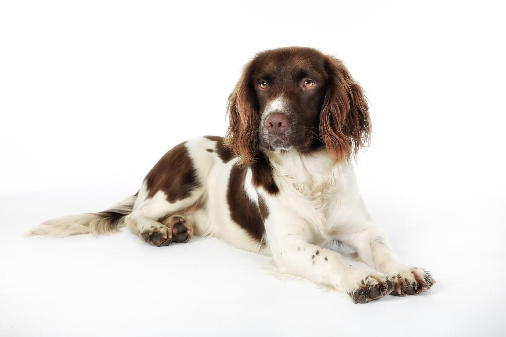Springer Spaniel English Dogs Breed Information Omlet