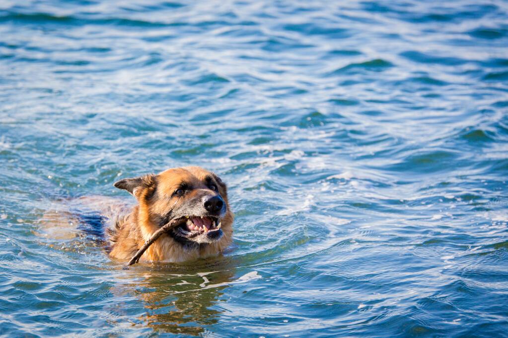 German Shepherd Dog | Dogs | Breed Information | Omlet