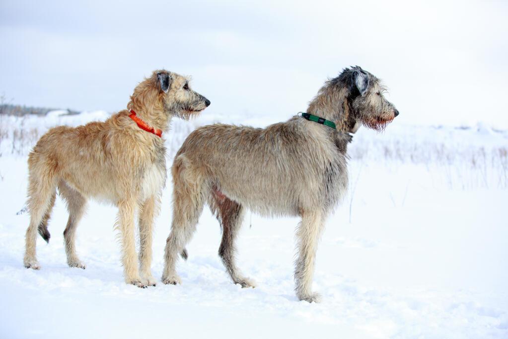 Irish Wolfhound Dogs Breed Information Omlet