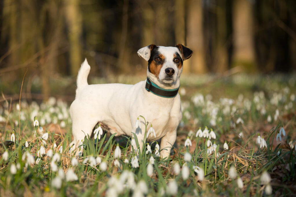 Jack Russell Terrier Dogs Breed Information Omlet