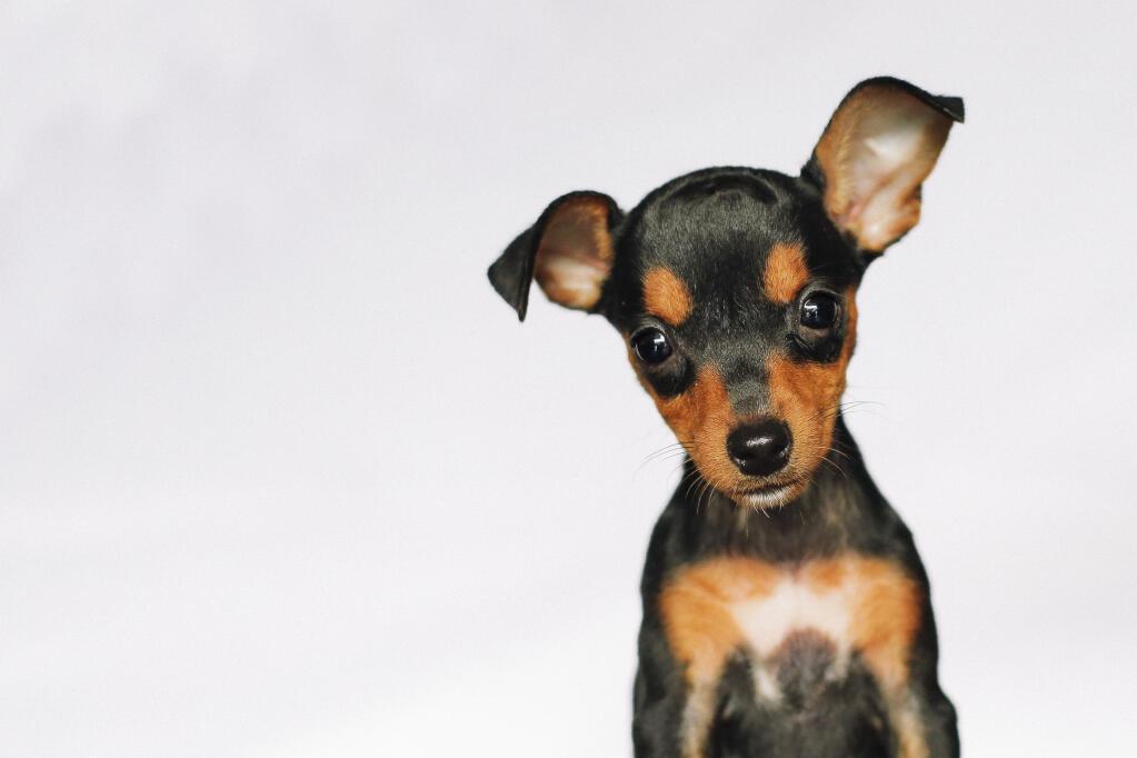 Miniature Pinscher Dogs Breed Information Omlet