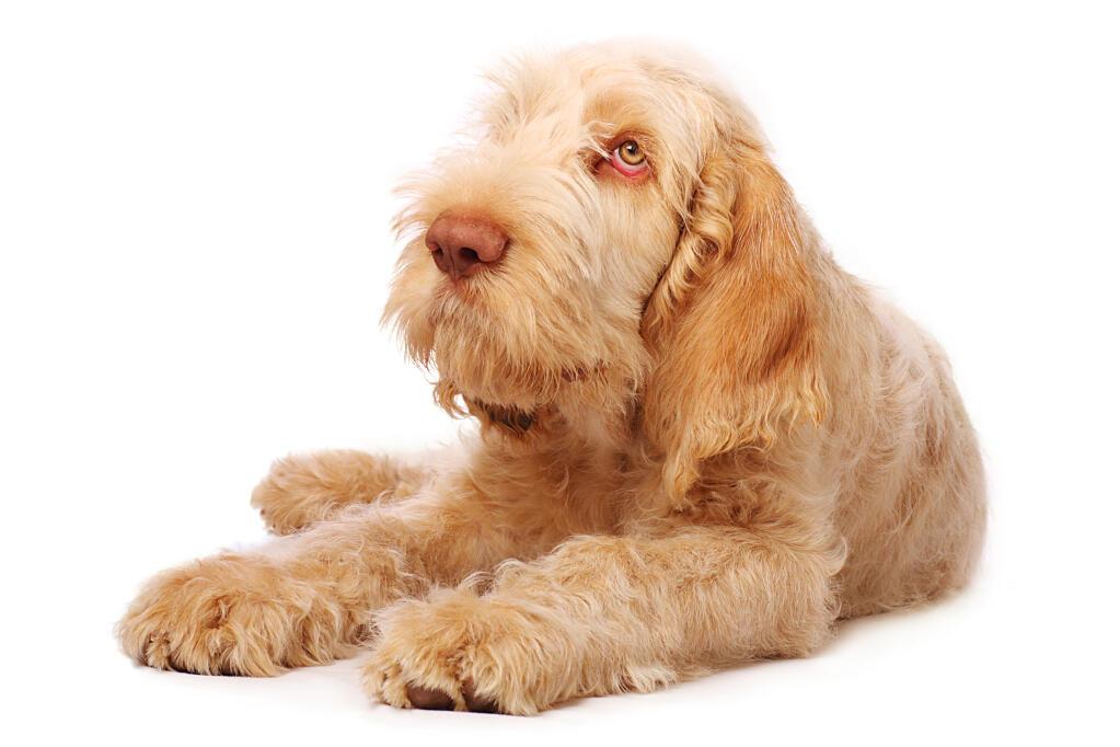 Spinone Italiano | Dogs | Breed Information | Omlet
