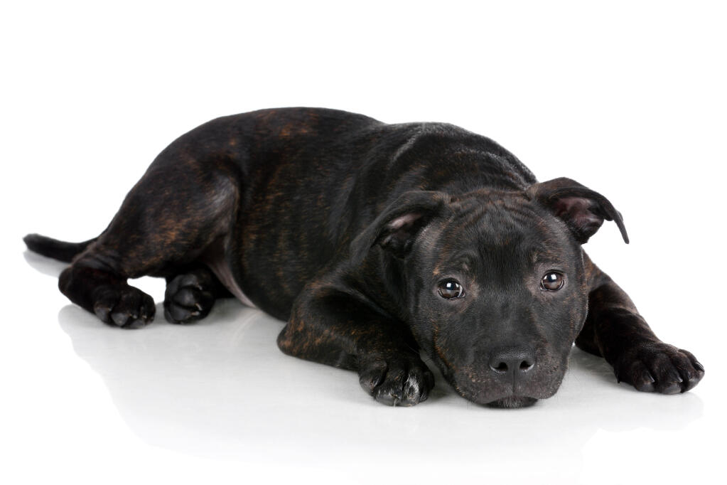 Staffordshire Bull Terrier   Dogs   Breed Information   Omlet