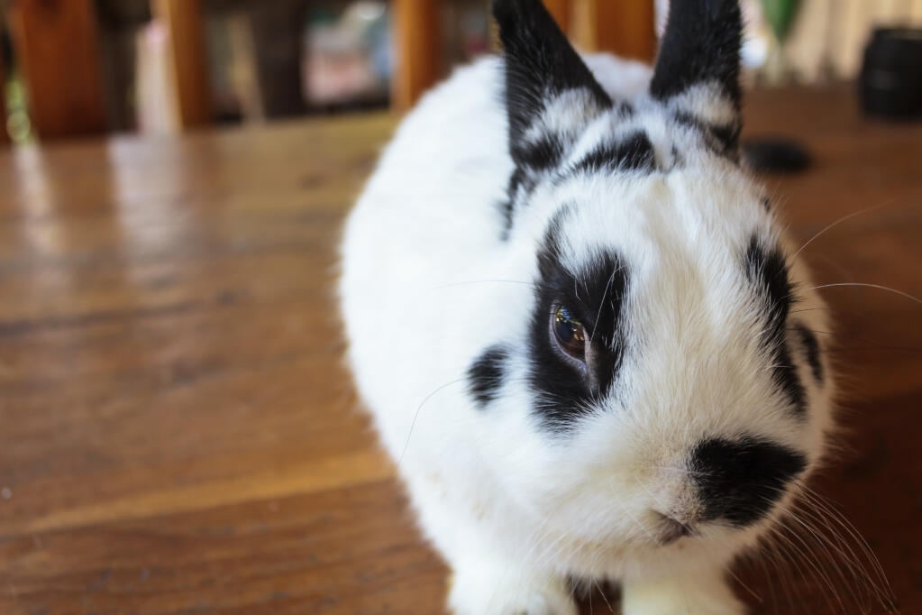 Chinchilla For Sale >> Netherlands Dwarf (Coloured) For Sale | Rabbits | Breed ...
