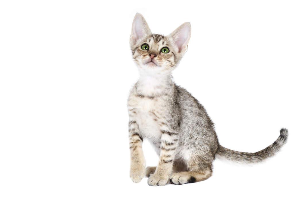 ocicat cats breed information omlet