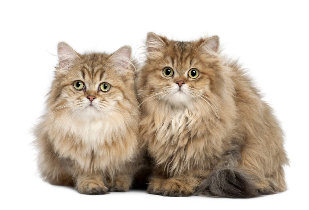 Longhair Cat Breeds With Smoke