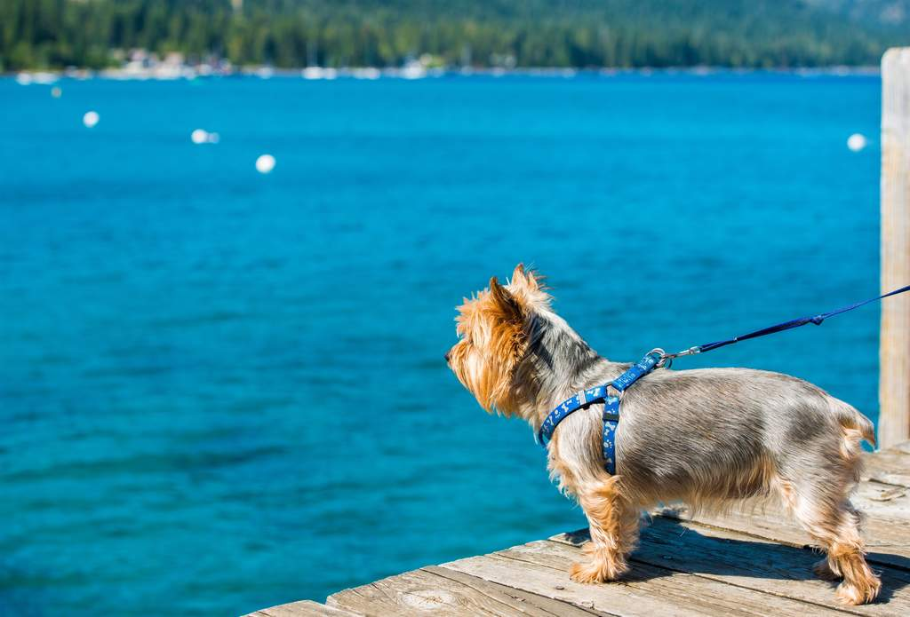 Silky Terrier | Dogs | Breed Information | Omlet