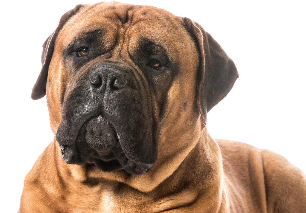 Image result for bullmastiff