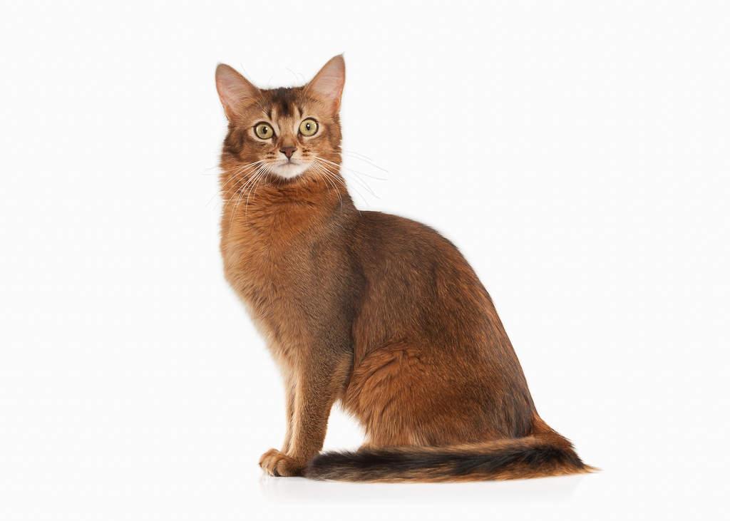 Somali Cat Vs Abyssinian Cat