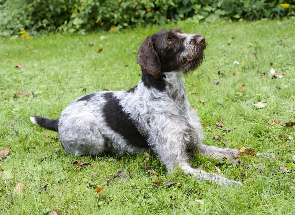 German Wirehaired Pointer Dogs Breed Information Omlet