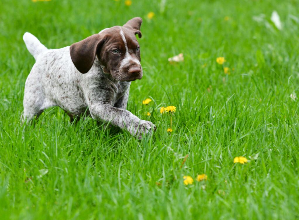 German Shorthaird Pointer Best Dog To Have