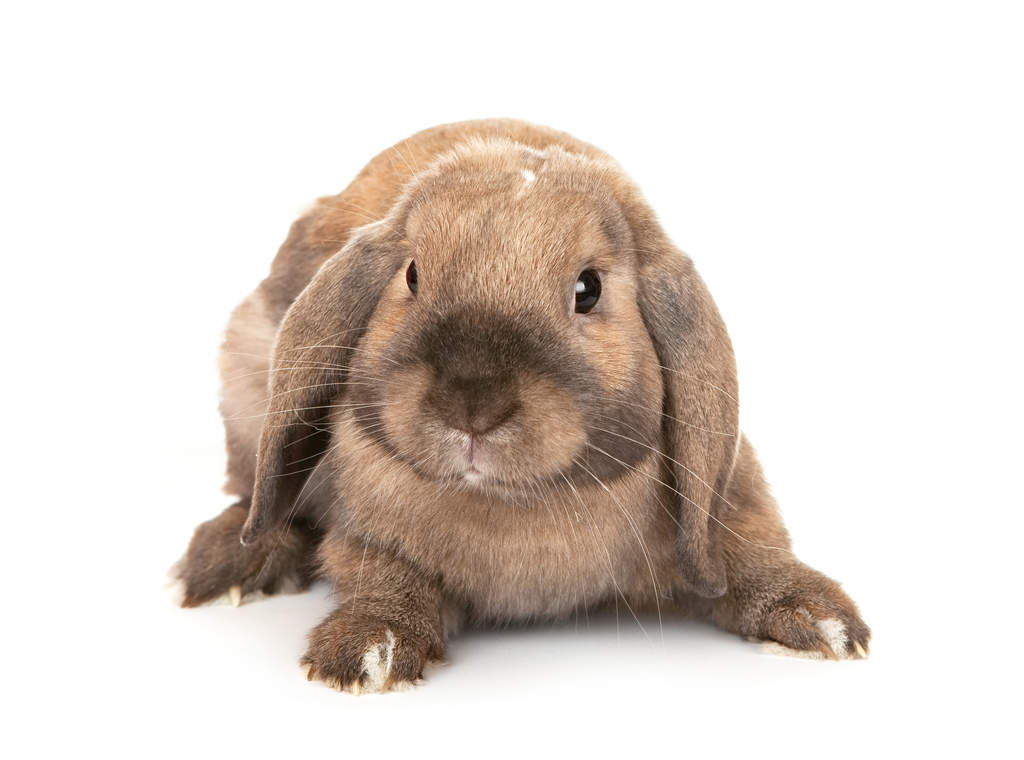 Dwarf Lop For Sale | Rabbits | Breed Information | Omlet