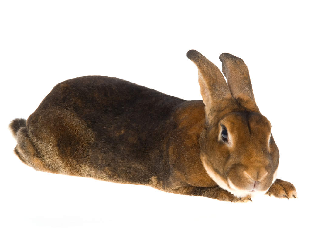 Rex For Sale | Rabbits | Breed Information | Omlet