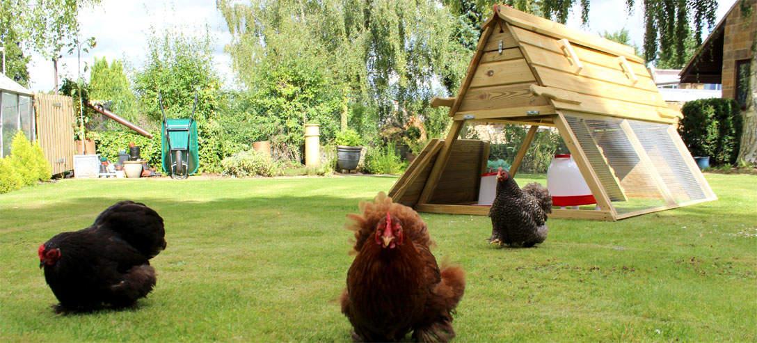 Hønene elsker å få ta seg en tur ut av Boughton-hønsehuset