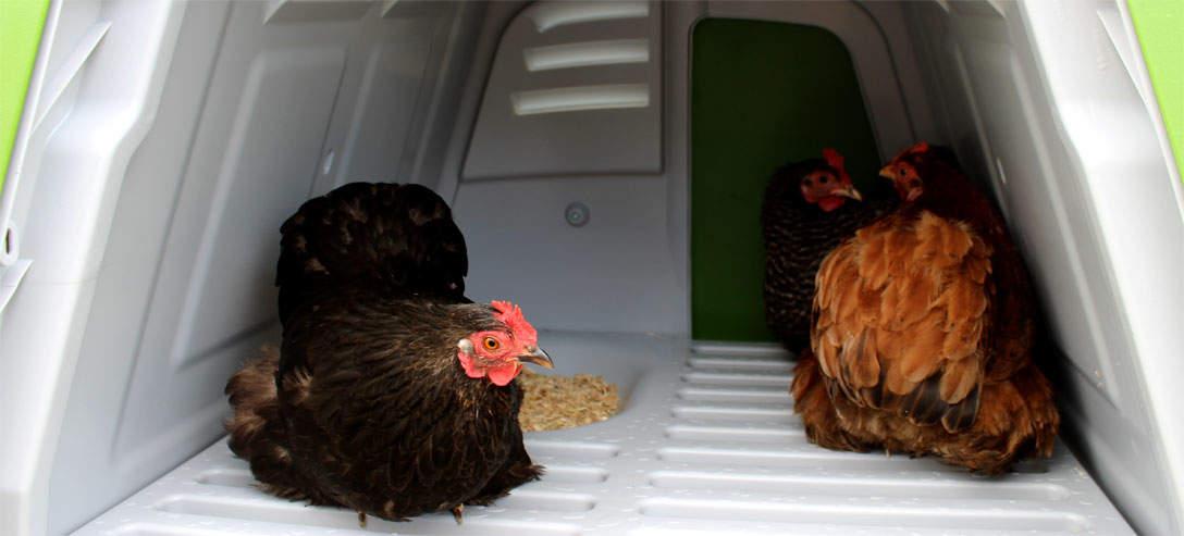 Kurczaki pokochają budowę domku - grzędy i gniazdo tuż obok siebie