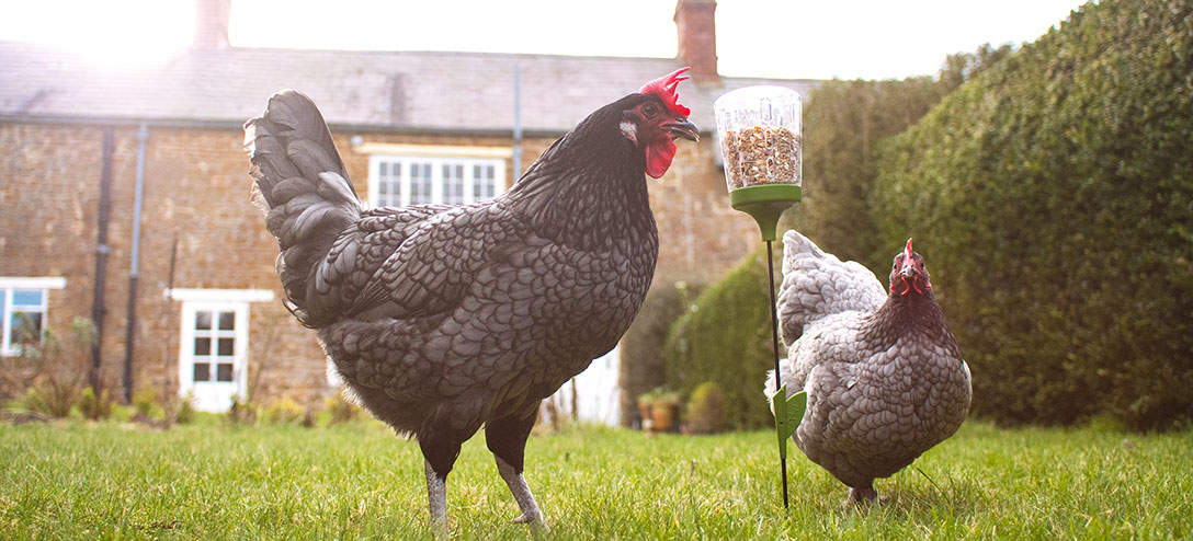 The Elvis coop toy will stimulate your chickens natural foraging instincts