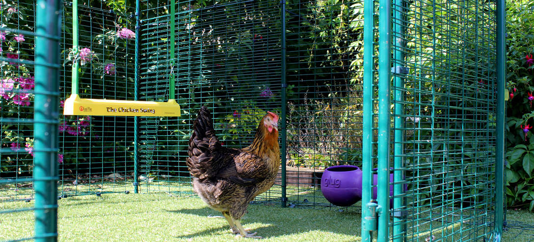 A Miss Pepperpot chicken eyeing up The Chicken Swing