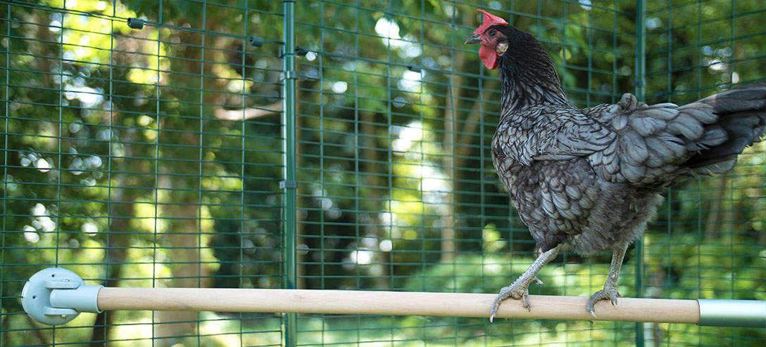 A perch in a walk in run allows your hens to satisfy their instinct to perch