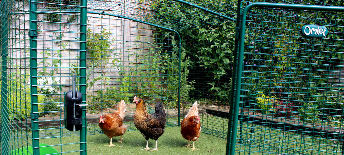 6ft x 6ft x 2ft Walk in Chicken Run - chickens walking inside