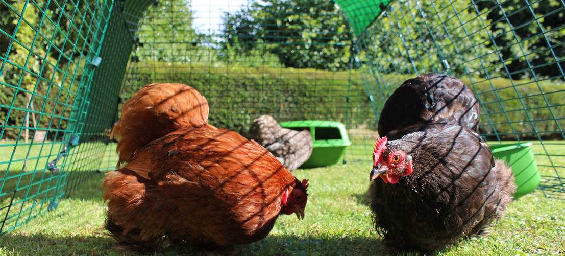 Your hens will enjoy foraging in the secure predator resistant chicken run of the Eglu Go