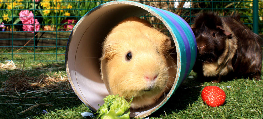 Guinea pigs playing in the spacious run
