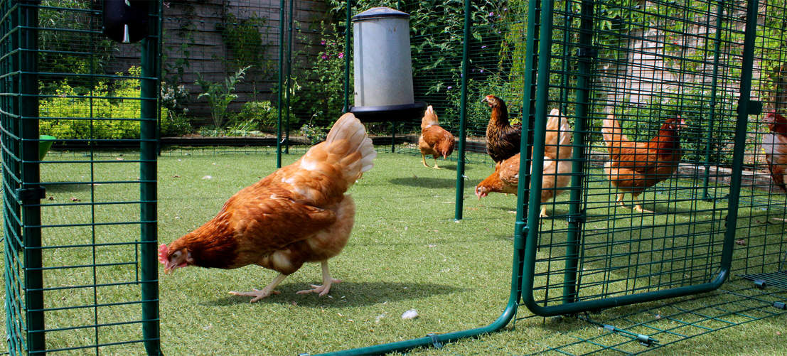 9ft x 9ft x 6ft Walk in Chicken Run - Chickens pecking in run