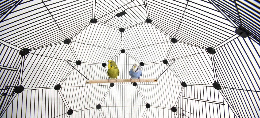The wire spacing is suitable for all kinds of small birds so the Geo Bird Cage can be enjoyed by budgies, finches and canaries