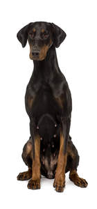 A beautiful female Doberman Pinscher sitting tall