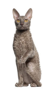 A grey cornish rex with the breeds distinctive curly coat