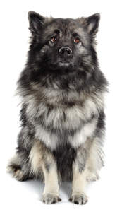 A lovely, soft Keeshond sitting neatly, waiting for some attention