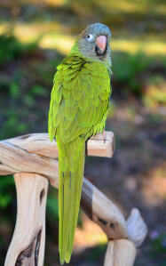 A Blue Crowned Parakeet's lovely, long, green tail feathers